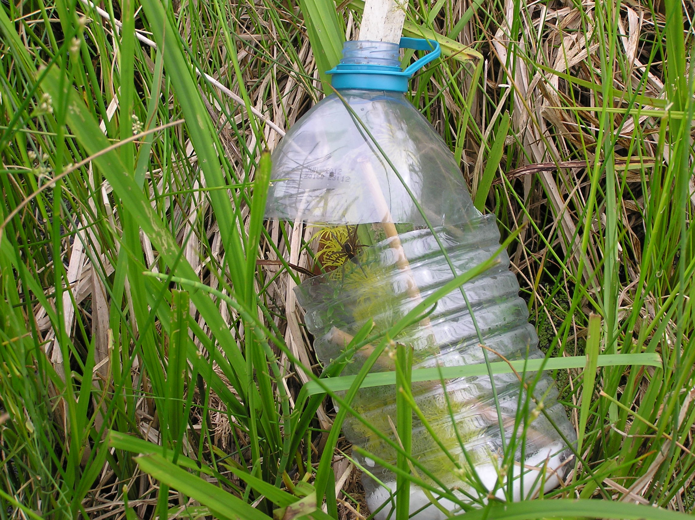 A 'bottled' nursery web, with Pevesey Levels mother, released at Carlton Marshes
