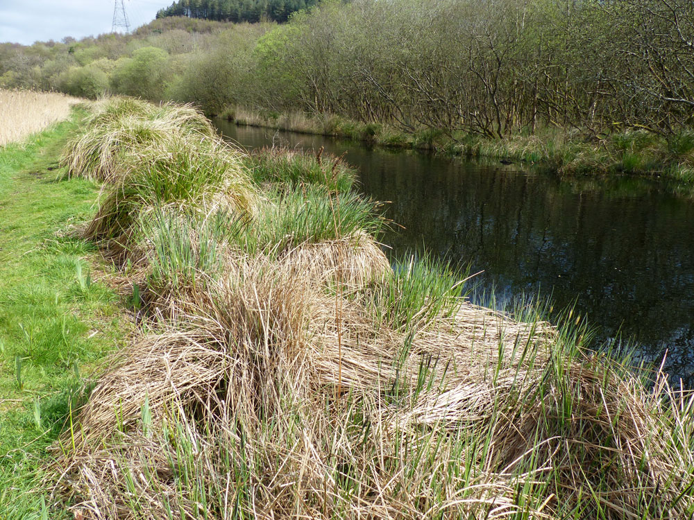 Dense tussocks of Carex paniculata are a common support for nursery webs