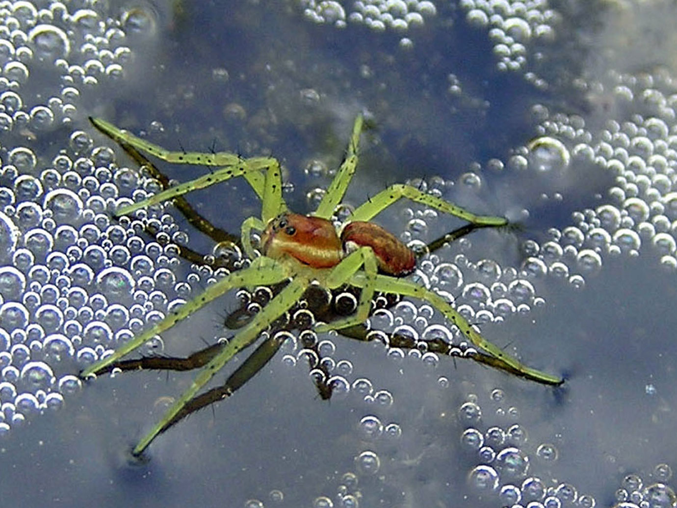 Dolomedes fimbriatus spiderling with green legs