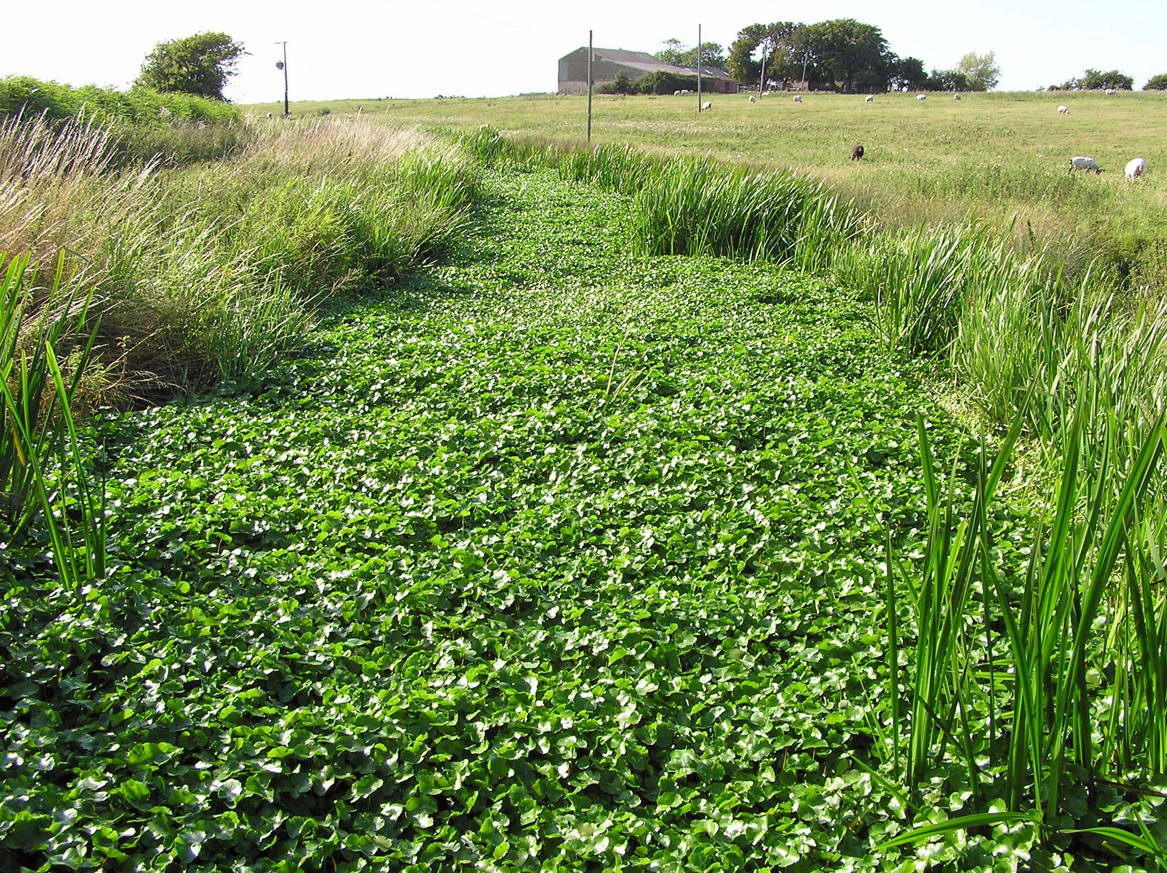 Hydrocotyle ranunculoides choking a ditch on the Pevensey Levels
