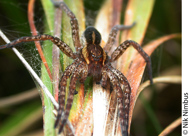 Dolomedes fimbriatus from the Ashdown Forest, GB, with flecking on the legs