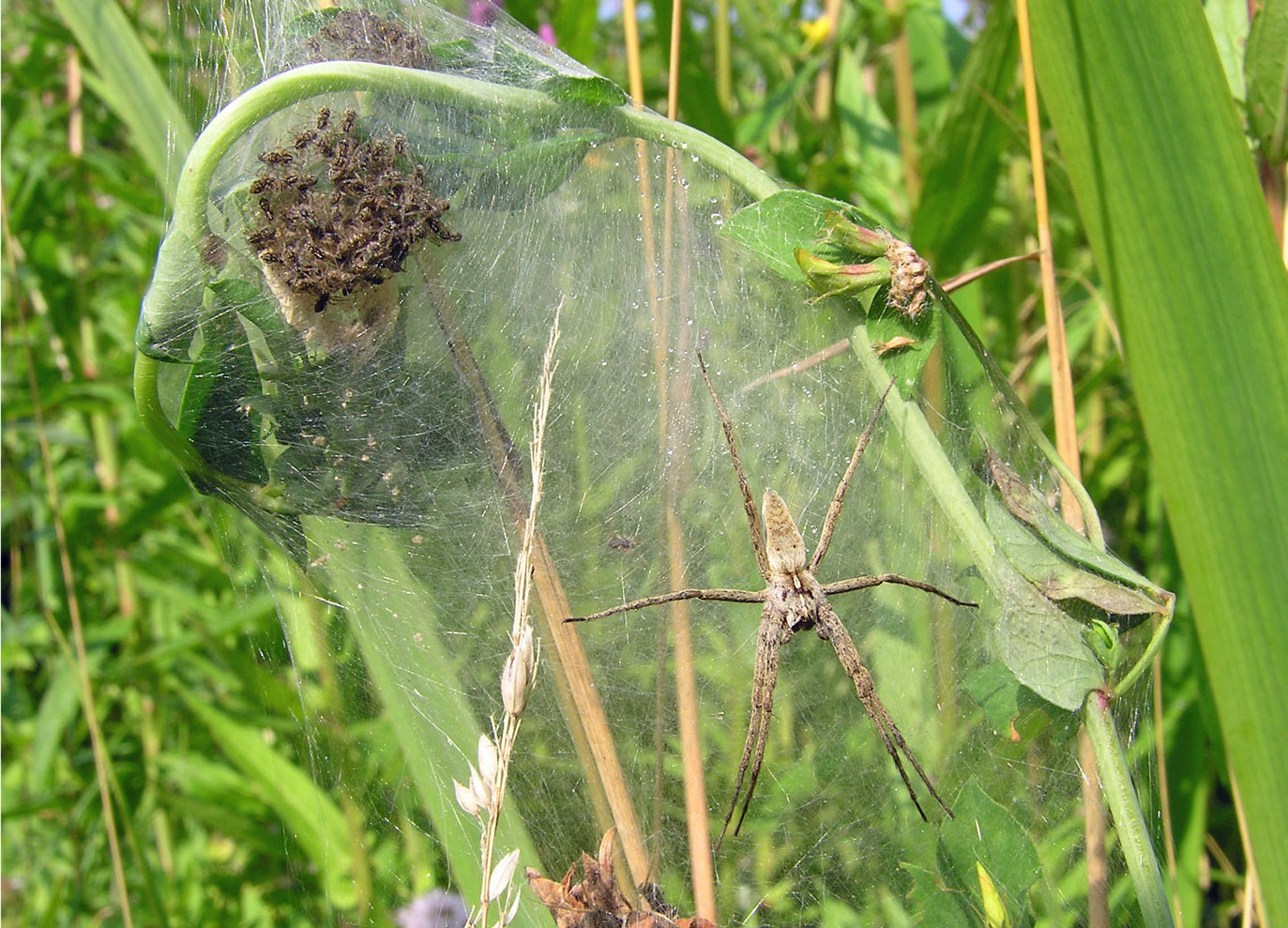 Female Pisaura mirabilis guarding spiderlings in her nursery