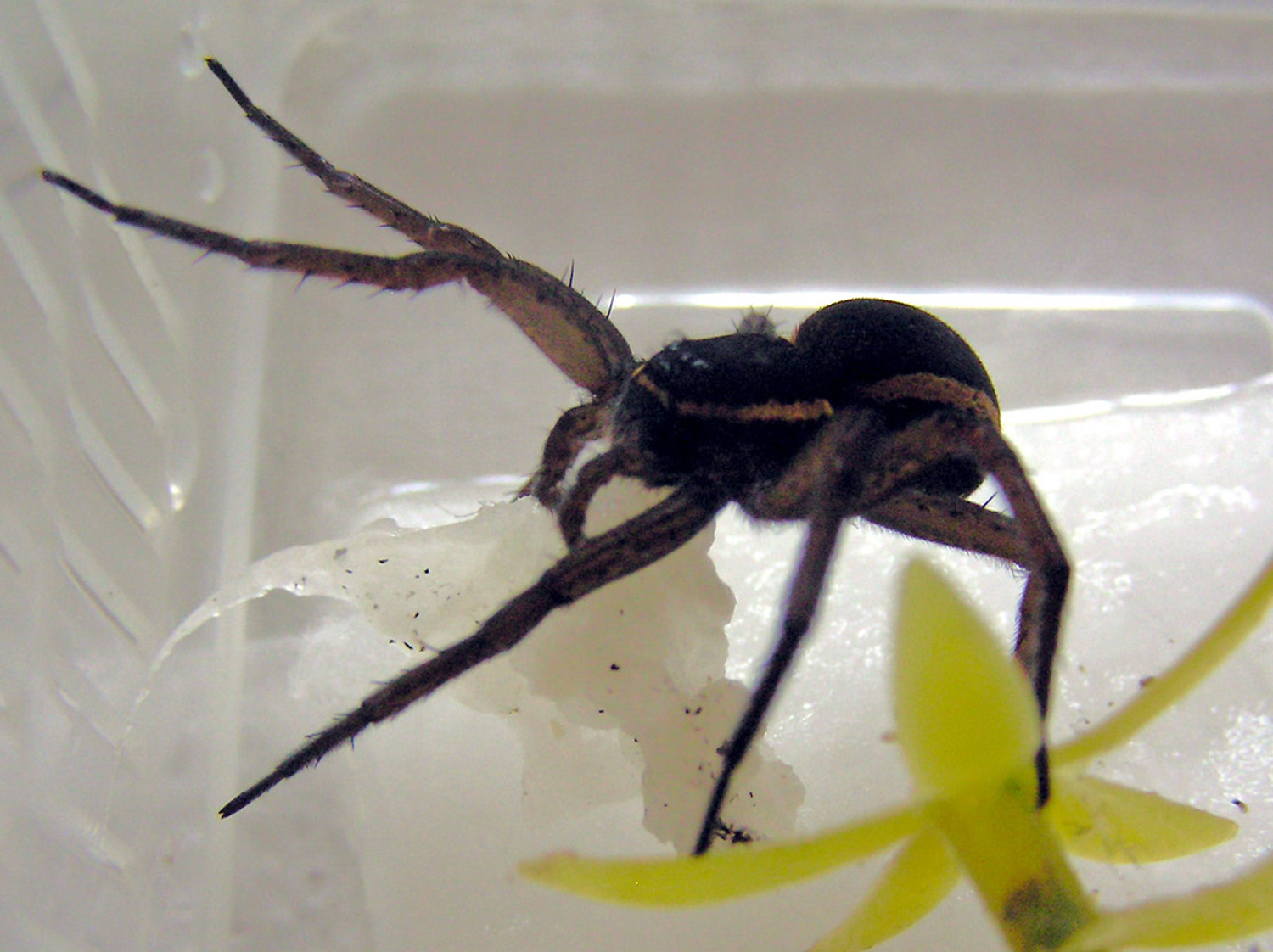 Female D. plantarius carrying cotton wool in lieu of an egg sac in captivity