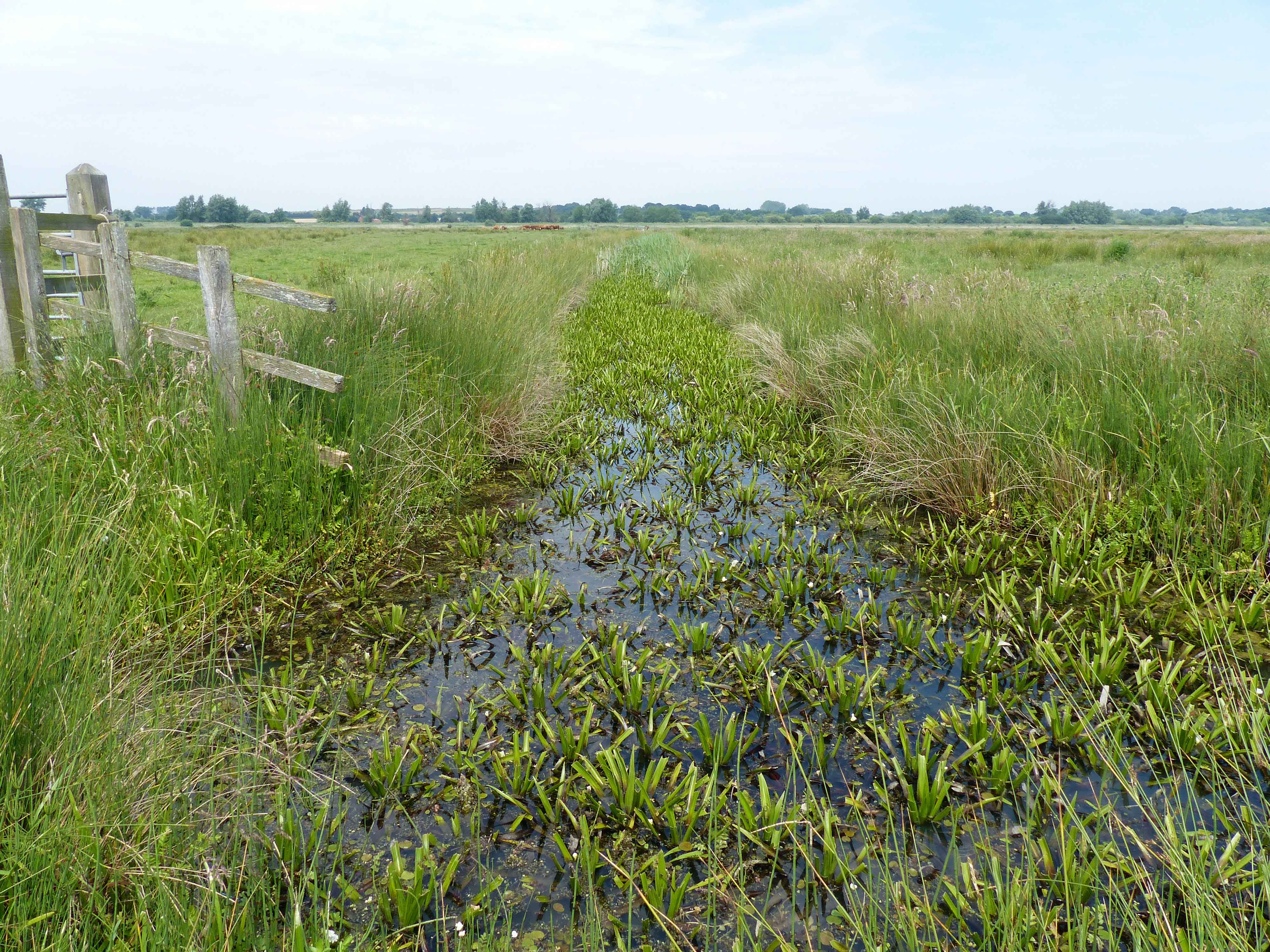 Grazing marsh ditch habitat typical of D. plantarius in Britain and the Netherlands