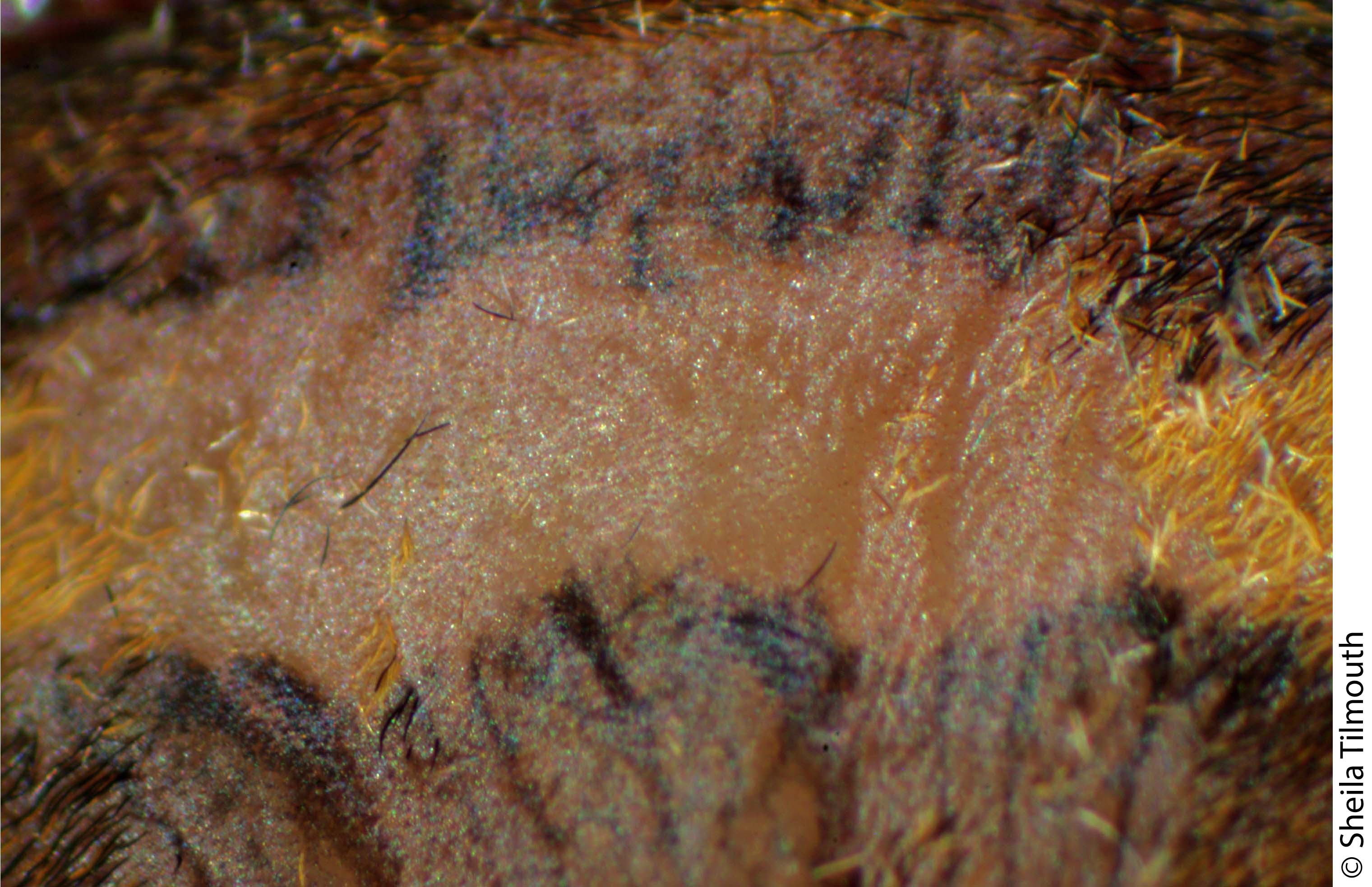 The lateral band of D. plantarius comprises pale hairs & a pale integument beneath