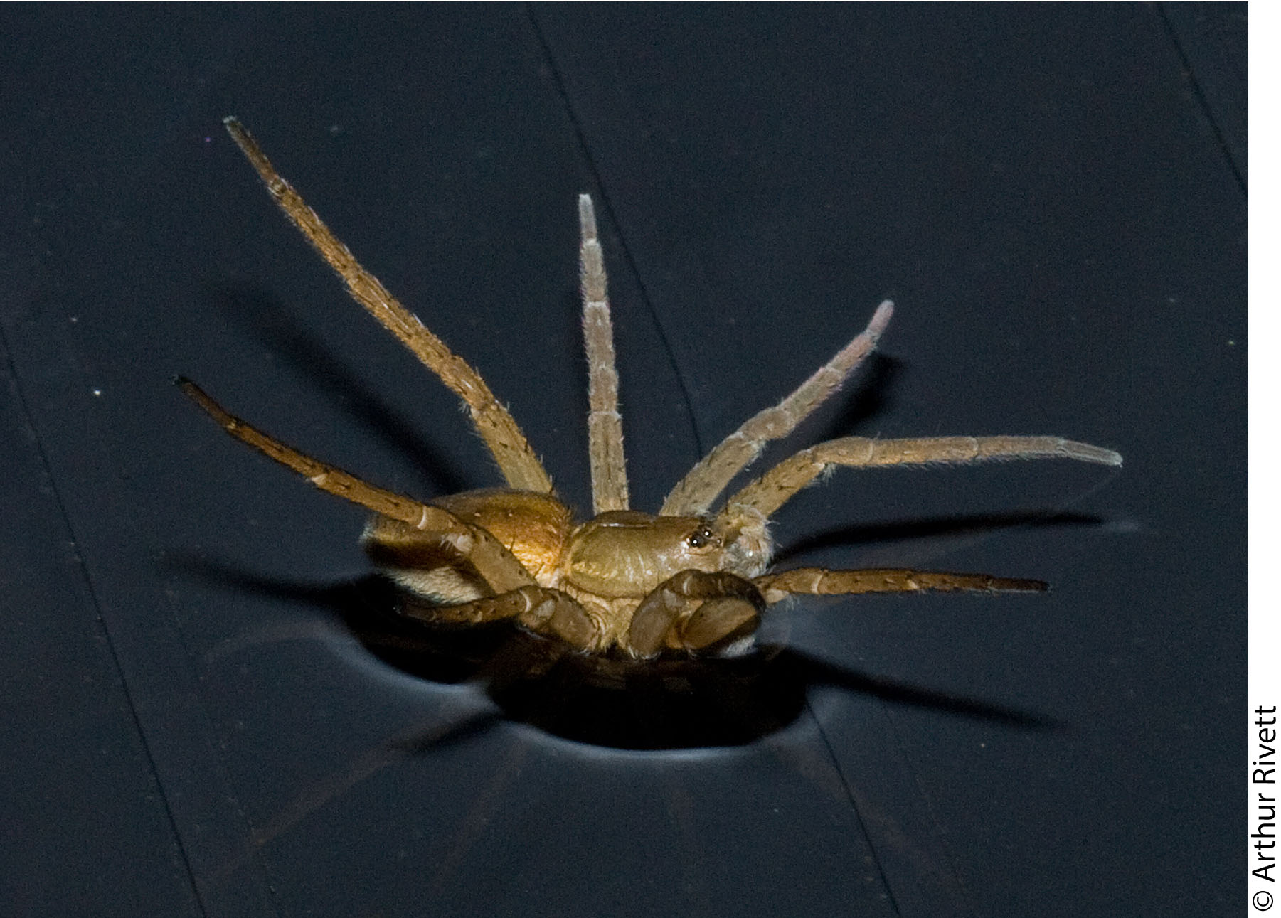 Dolomedes plantarius sailing by raising all of its legs!