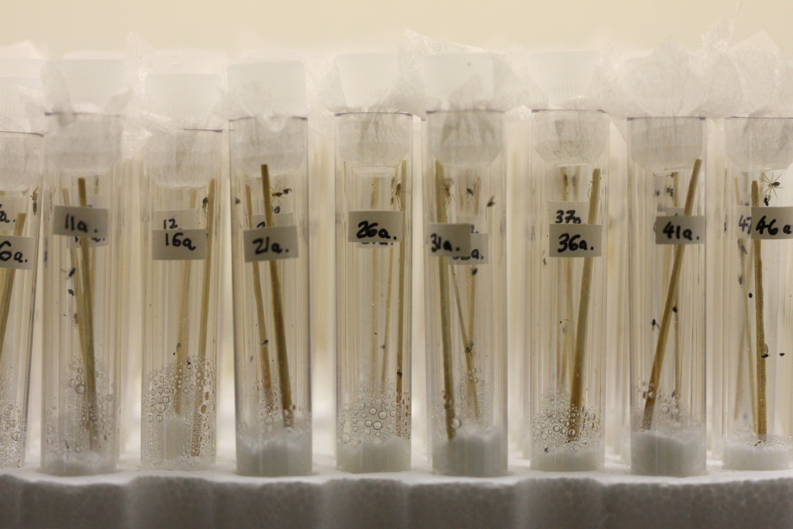 Rearing tiny spiderlings individually in test tubes gave over 90% survival